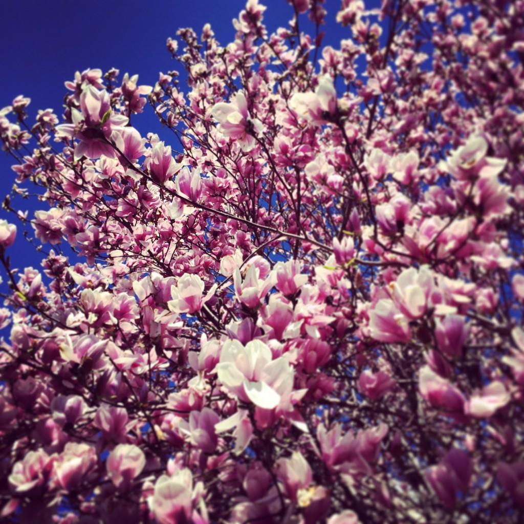 庭先に植えているお家が多い木蓮ことマグノリア。白木蓮はこっちでは見ないなぁ