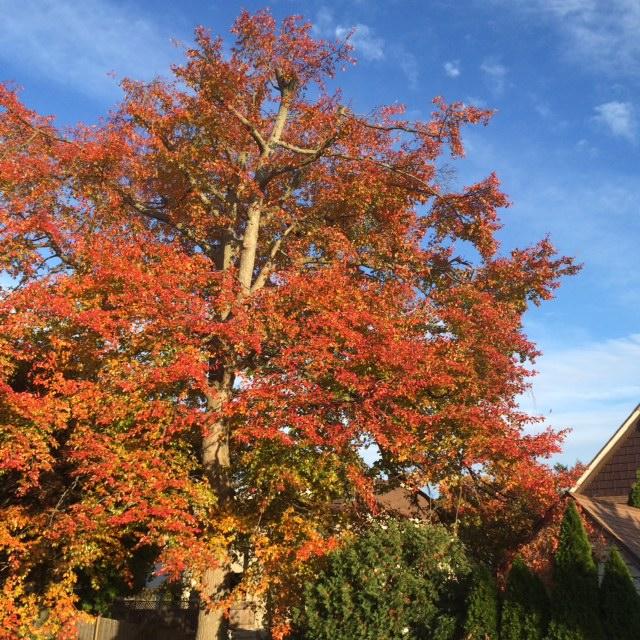 家からみた木。これが冬には葉っぱが全て落ちちゃう